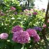 有珠善光寺紫陽花