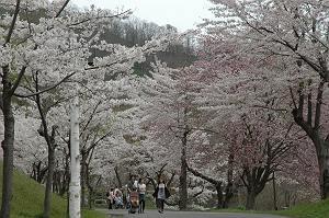 美唄と厚田の桜名所めぐりと美唄名物 とりめし 札幌発着 (5/4) 札幌